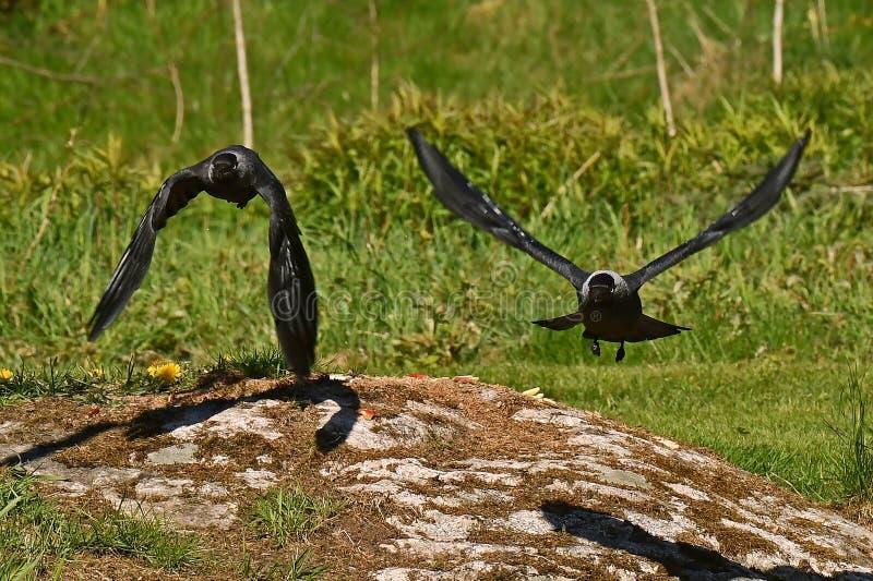 Westelijke Kauw, Corvus-monedula stock afbeeldingen