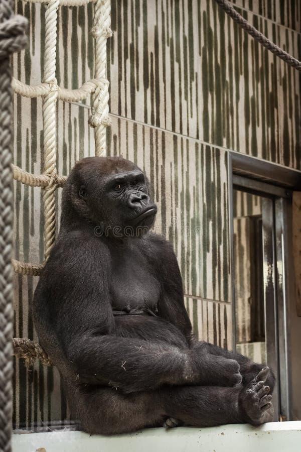 Westelijke laaglandgorilla in gevangenschap - droevige uitdrukking stock foto