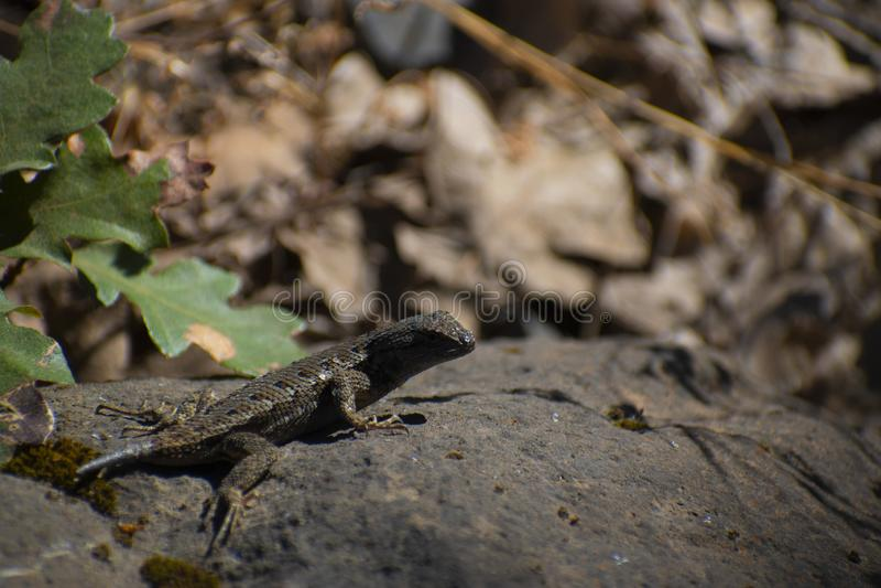 Westelijke Omheining Lizard op een Rots royalty-vrije stock afbeeldingen