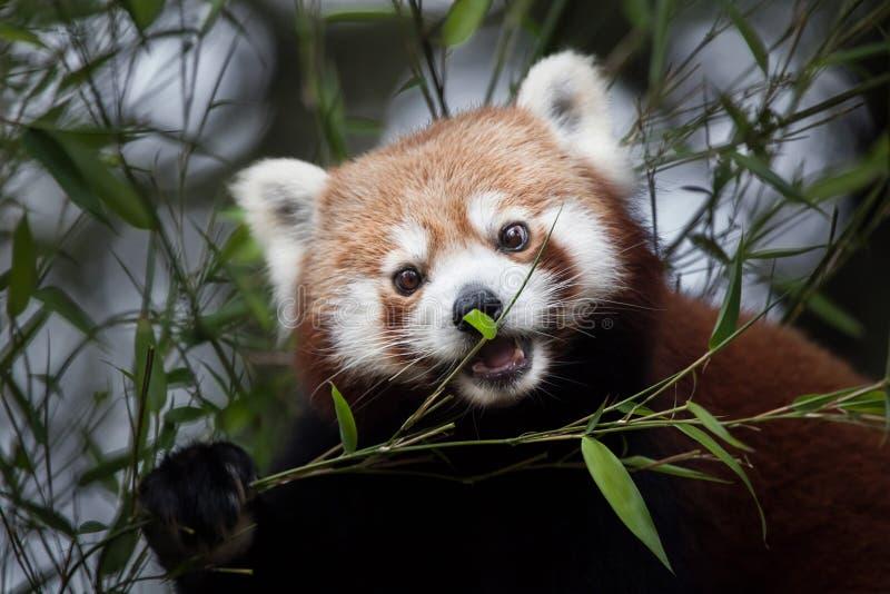 Westelijke rode panda Ailurus fulgens fulgens stock afbeeldingen