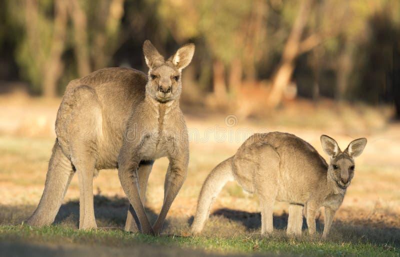 Westernów Popielaci kangury zdjęcie royalty free