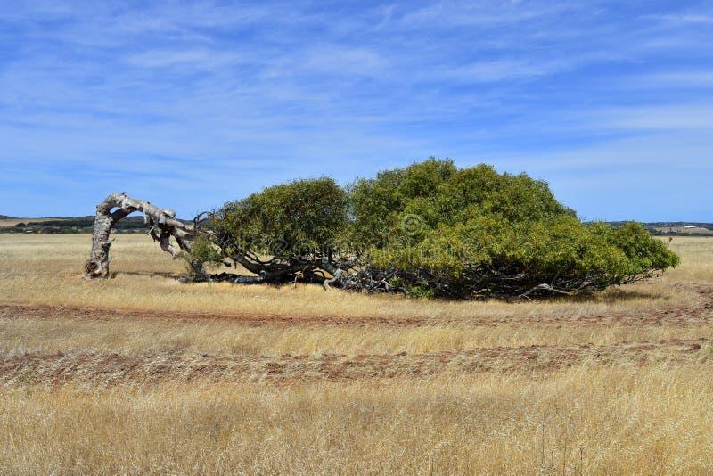 Australia, Western Australia, nature, leaning tree royalty free stock photos