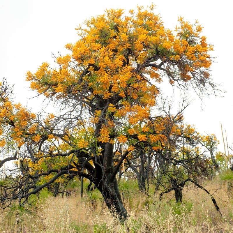 Western Australia Christmas tree, Australian mistletoe, Nuytsia floribunda, stock images