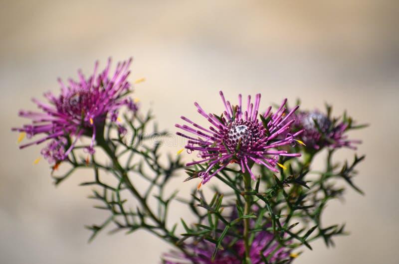 Western Australian native purple Rose Coneflower. Western Australian native purple wildflower, the Rose Coneflower, Isopogon formosus, family Proteaceae. Endemic stock images