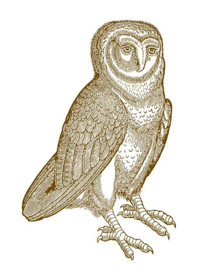 Western barn owl tyto alba in quarter front view. Illustration after a historic woodcut from the 16th century stock illustration