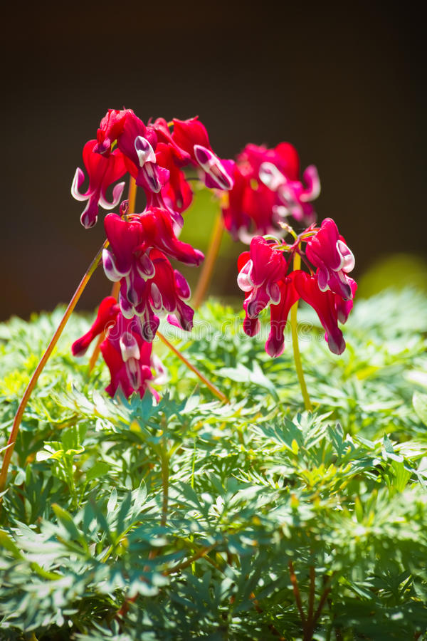 Western bleeding heart or Dicentra formosa stock image