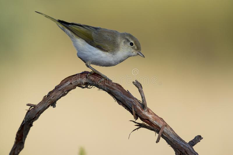 Western Bonelli warbler Phylloscopus bonelli perched on a branch. Spain stock image