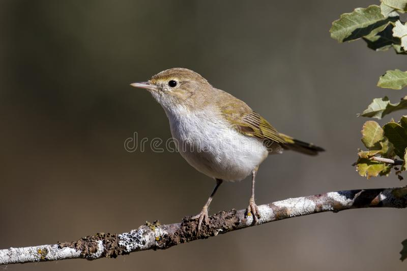 Western Bonelli warbler Phylloscopus bonelli perched on a branch. Spain royalty free stock photography