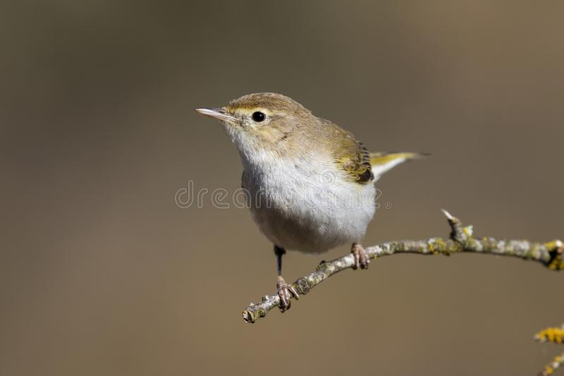 Western Bonelli warbler Phylloscopus bonelli perched on a branch. Spain stock images