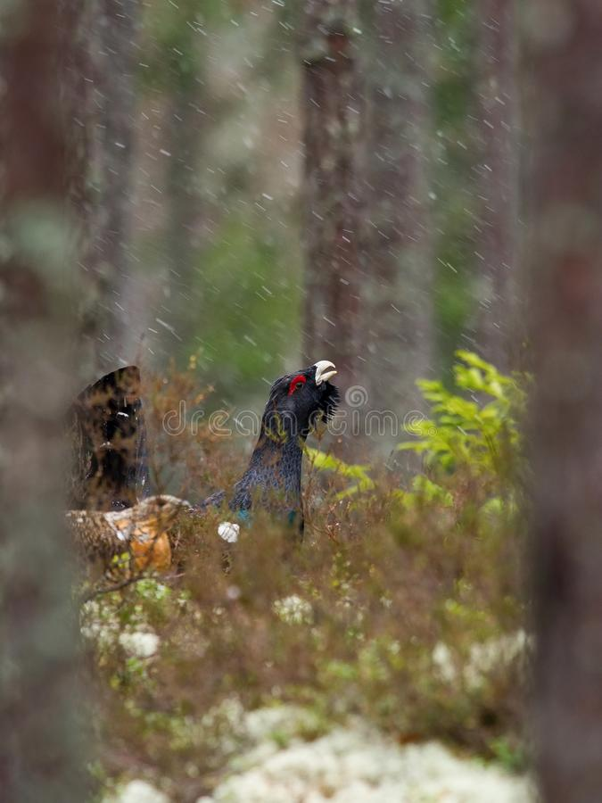 The Western Capercaillie, Tetrao urogallus. Also known as the Wood Grouse, Heather Cock, or just Capercaillie in the forest, is showing off during their stock photo