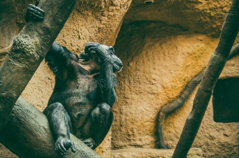 Western chimpanzee Pan troglodytes verus. Resting chimpanzee on the tree in the enclosure stock photo