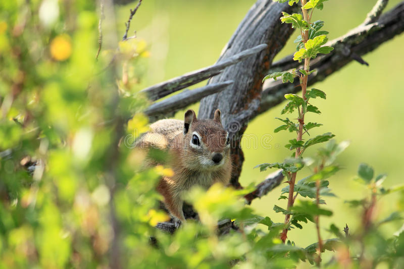 Western Chipmunk in a Tree