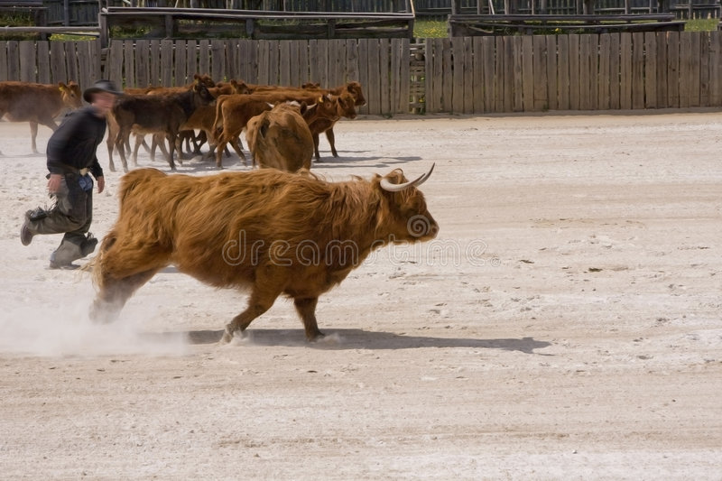 Western city. Beef man moving cattle inside yard on western city royalty free stock image