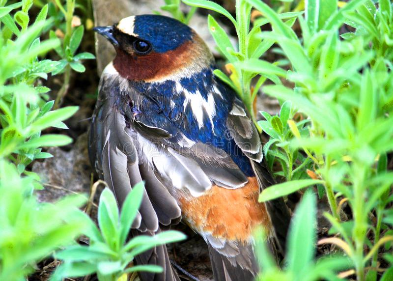 Young Cliff Swallow stock photo