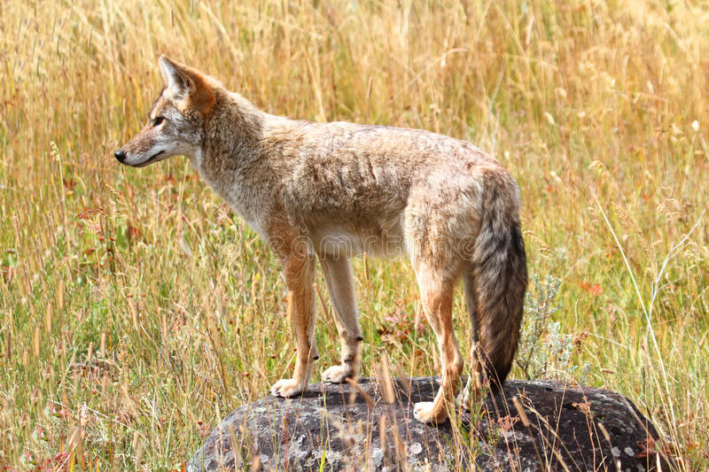 Download Western Coyote (Canis Latrans) Royalty Free Stock Images - Image: 22847019