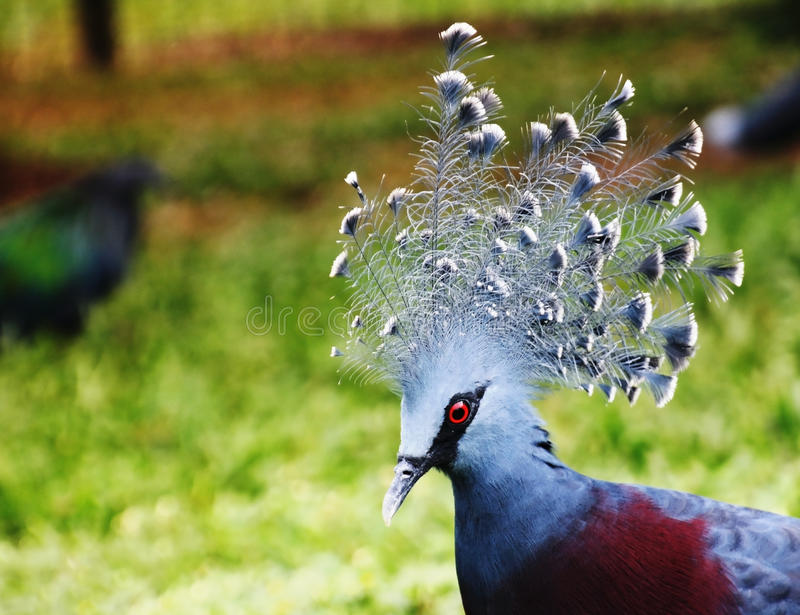 Western crowned pigeon (common crowned pigeon or blue crowned pigeon). Picture has taken in the Papua - New Guinea royalty free stock photo