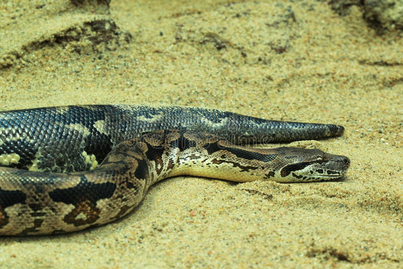 Western diamondback rattlesnake. The western diamond rattle snake in the sand royalty free stock photos