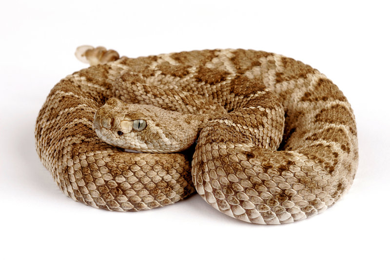 Western Diamondback Rattlesnake (Crotalus atrox). stock photography