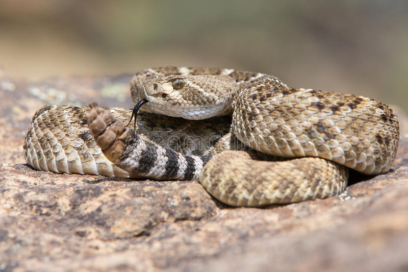 Western Diamondback Rattlesnake posed to strike. Western Diamondback Rattlesnake coiled up to strike royalty free stock image