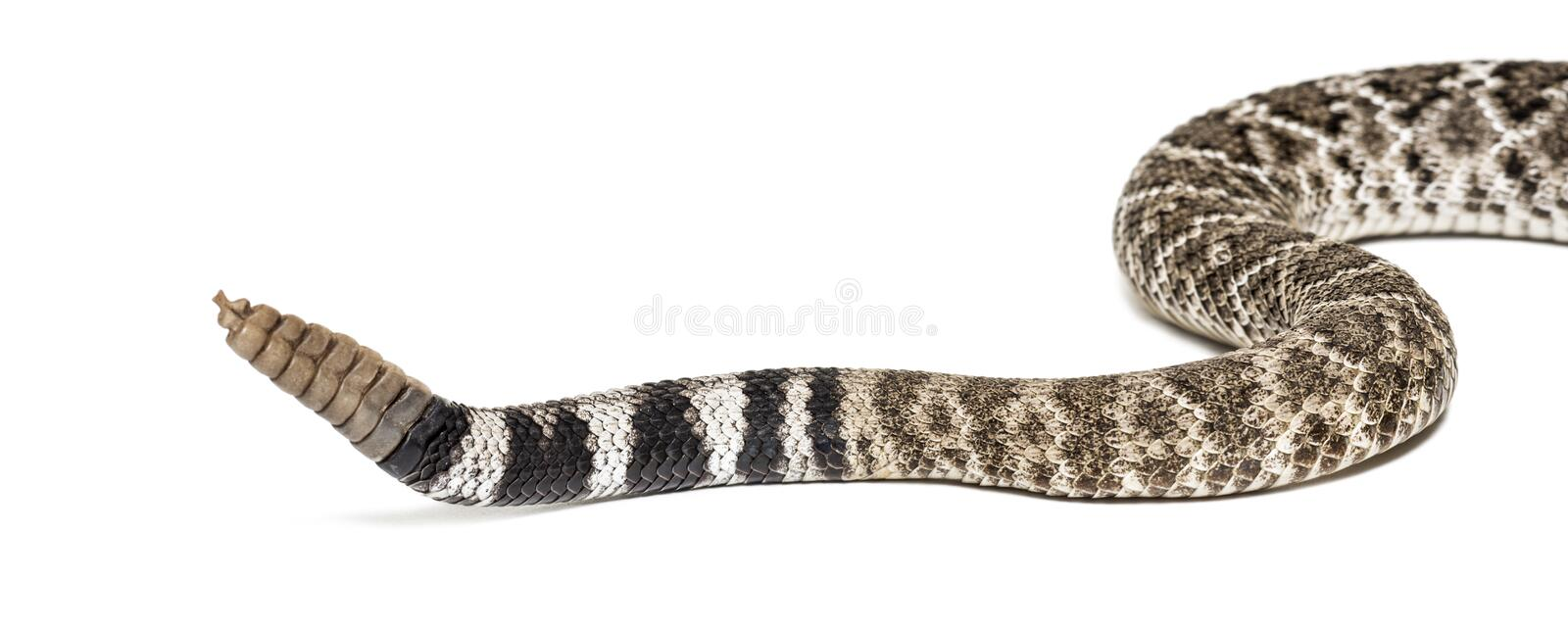 Western diamondback rattlesnake or Texas diamond-back in front of white. Crotalus atrox, western diamondback rattlesnake or Texas diamond-back, venomous snake stock images