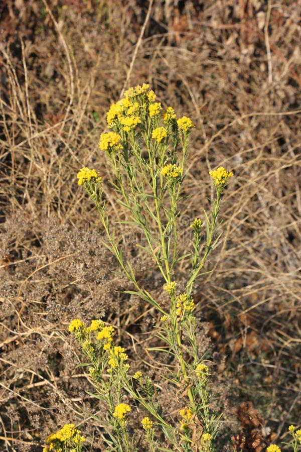Western flat topped goldenrod, Western goldentop, Euthamia occidentalis. Scrubby perennial of wetlands of Western United States with linear leaves and yellow royalty free stock photo