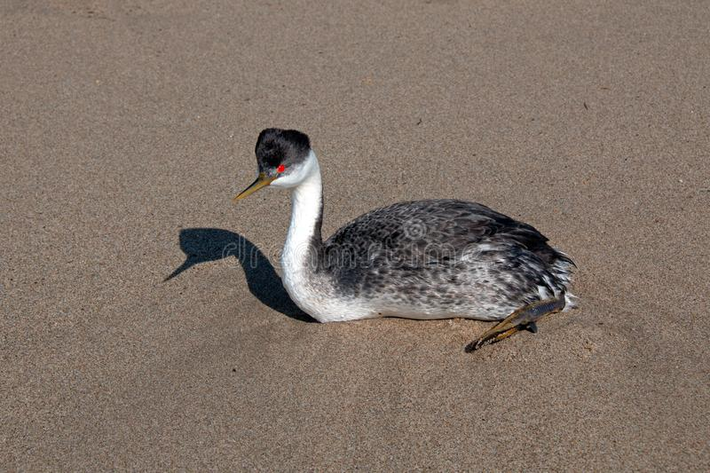 Western grebe [aechmophorus occidentalis] on Surfers Knoll beach at McGrath State Park in Ventura California USA. Western grebe [aechmophorus occidentalis] on stock photography