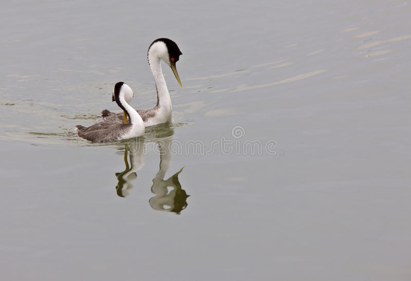 Download Western Grebe on Lake stock photo. Image of grebe, pond - 14685544