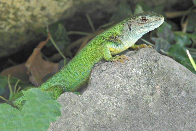 Download Western green lizard stock image. Image of bilineata - 15671573