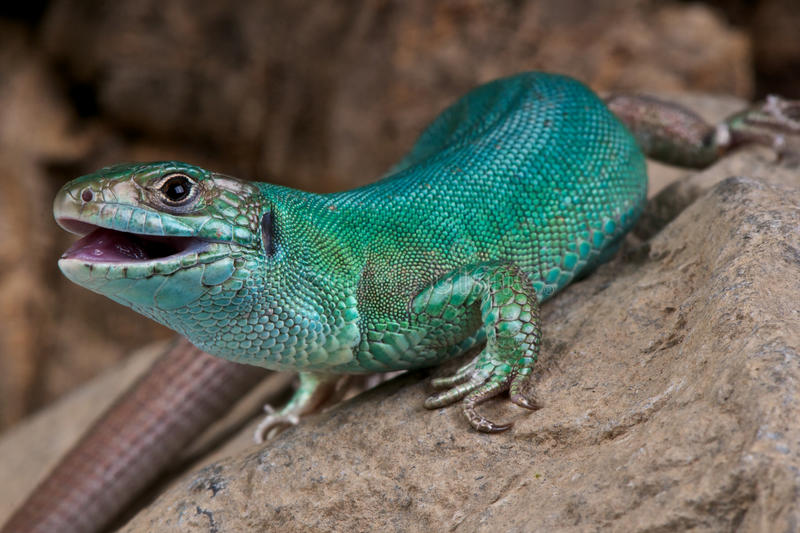 Western Green Lizard Royalty Free Stock Photography