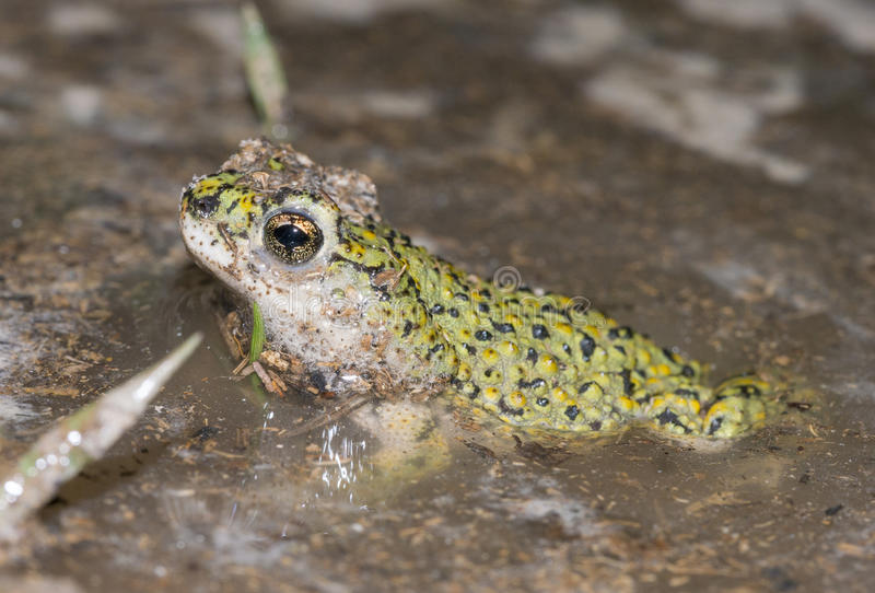 Western green toad royalty free stock images