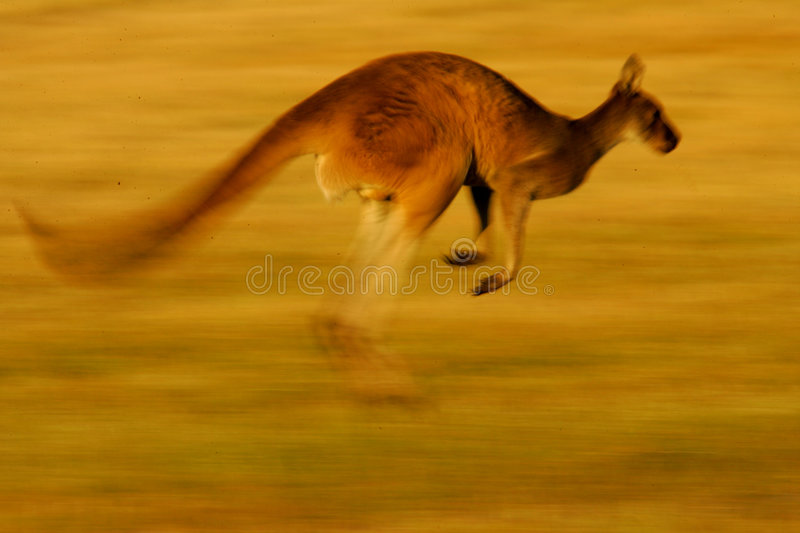 Download Western Grey Kangaroo stock image. Image of small, animals - 4427945