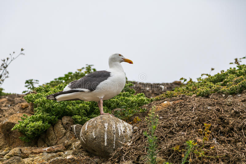 Download Western Gull stock photo. Image of island, islands, nature - 93914816