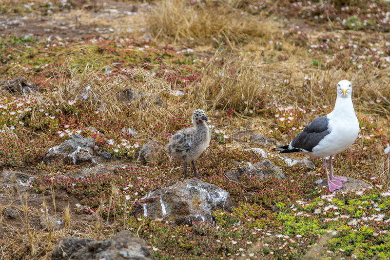 Western Gull and Chick. A western gull and chick on Anacapa Island in California stock photography