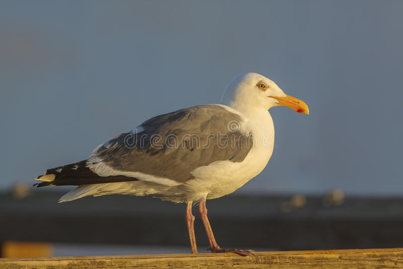 Western Gull stock images