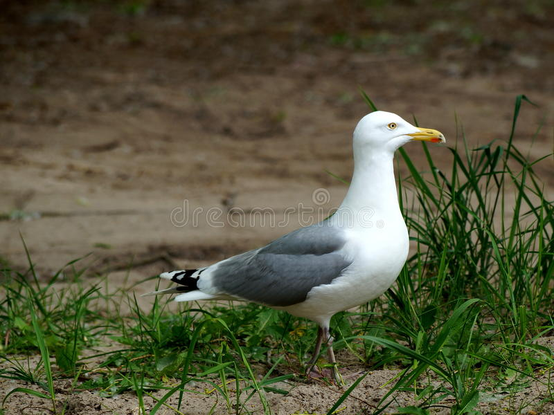Western Gull on Usedom stock photography