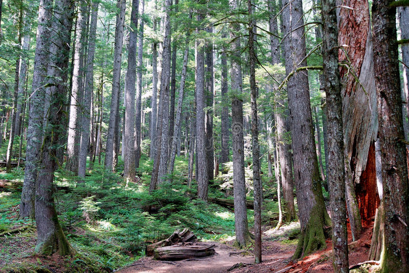 Western Hemlock and Douglas Fir forest. Western Hemlock( Tsuga heterophylla ) and Douglas Fir ( Pseudotsuga menziesii ) forest, Mount Rainier National Park royalty free stock photos