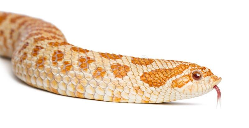 Western hog-nosed snake, Heterodon nasicus. Close up against white background stock photography