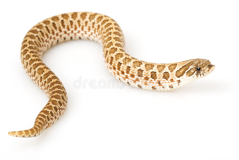 Western Hognose Snake. (Heterodon nasicus) on white background stock images