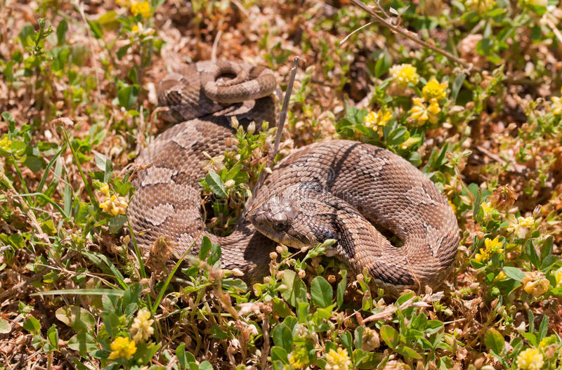Western Hognose snake. Partially coiled, resembling a rattlesnake, camouflaged in grass royalty free stock photography