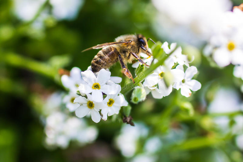Western honey bee royalty free stock photography