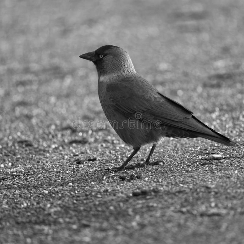 Western Jackdaw. In Black and White royalty free stock photography