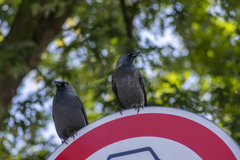 Western jackdaw Coloeus corvus monedula sitting on road sign, two blue eyed birds on green background royalty free stock photography
