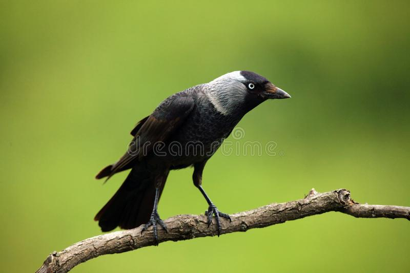 The Western Jackdaw Corvus monedula sitting on a branch with green background. Typical smart raven bird sitting on a branch stock photography