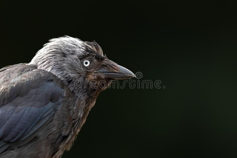 Western jackdaw in the forest stock image