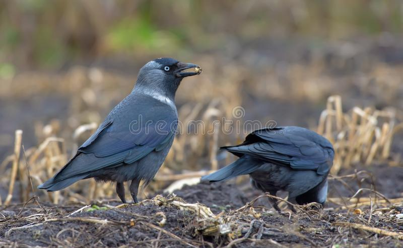 Two Western jackdaws search for food on the field ground royalty free stock image