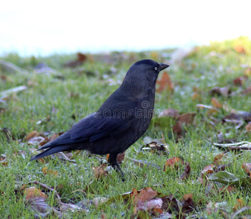 Western jackdaw. Resting and forging for food in the grass stock photo