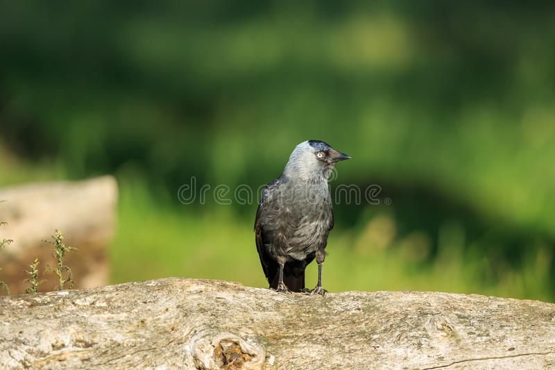 The western jackdaw up close stock photo