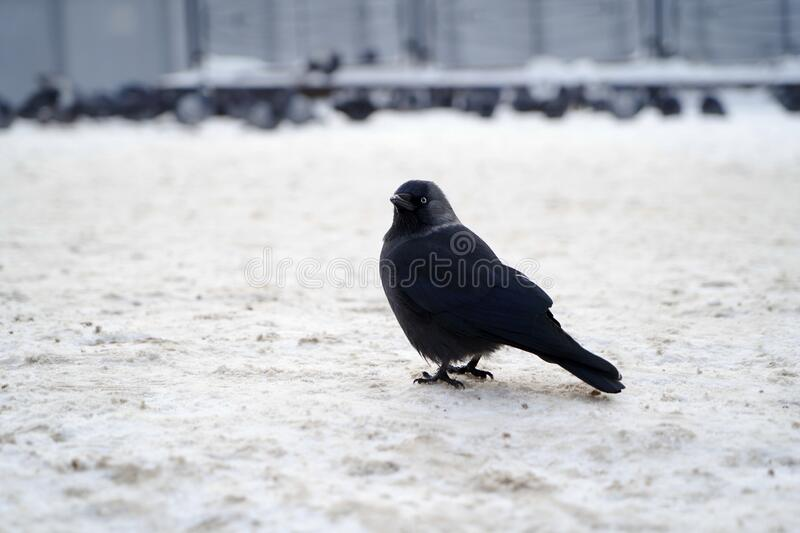 Western Jackdaw on winter snow. Black Jackdaw bird stock images