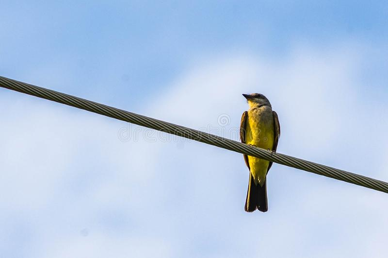Western Kingbird on a telephone pole wire. With a blue sky with clouds royalty free stock photos