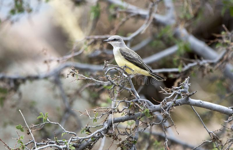 Western Kingbird bird, Lake Watson, Prescott Arizona. The western kingbird Tyrannus verticalis is a large tyrant flycatcher very similar with Cassin`s kingbird stock photo